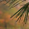 Rain, pine and foliage