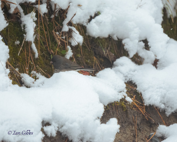 A dark eyed junco flitters along the freshly-fallen snow.