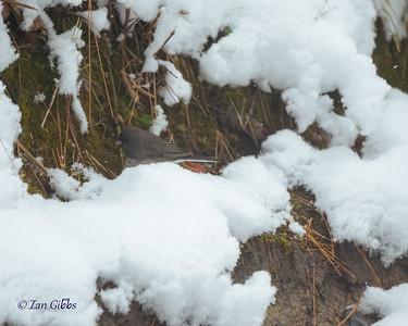 A dark eyed junco flitters along the freshly-fallen snow.