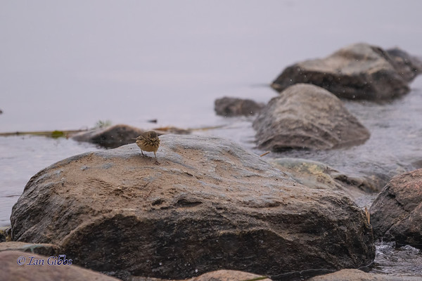 American Pipit dares you to cross the Mighty Miss