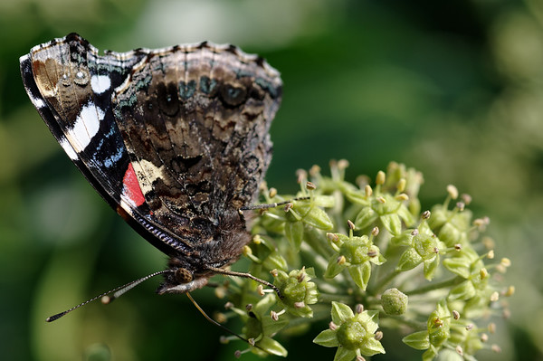 Red admiral feasting on ivy nectar V
