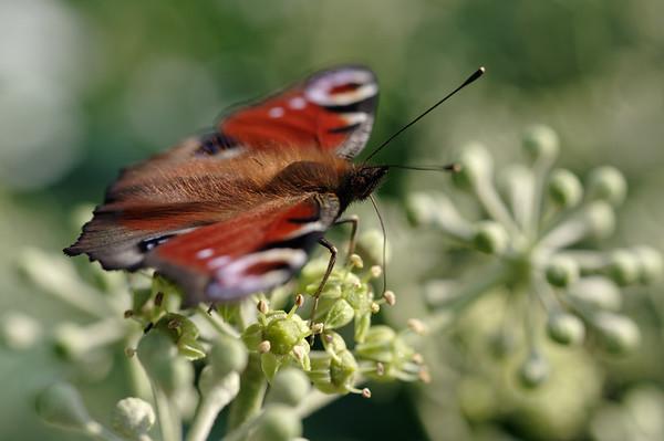 European peacock drinking ivy nectar