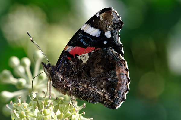 Red admiral feasting on ivy nectar IV