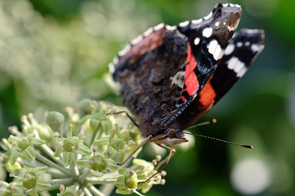 Red admiral feasting on ivy nectar I