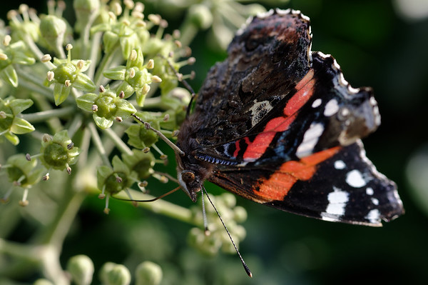 Red admiral feasting on ivy nectar II