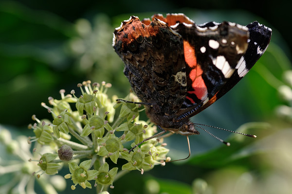 Red admiral feasting on ivy nectar III