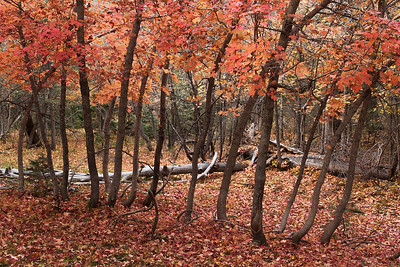 Maple Trees, Upper Buck Springs Canyon