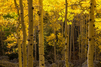 Dance of the Aspen