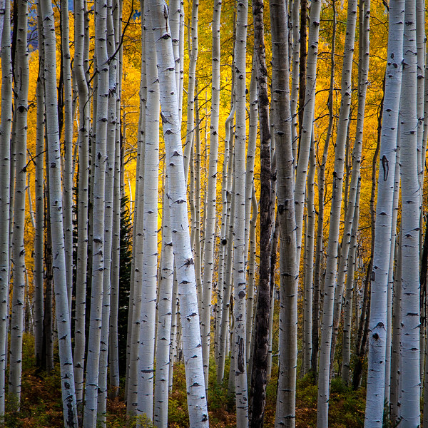 Aspen Forest/ Colorado