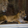 Who's the captive, the lions or the humans?