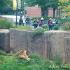 Is the barrier higher than the Tiger barrier in San Francisco Zoo?