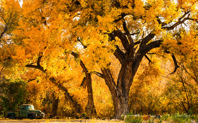 Golden Cottonwoods of Abiquiqu