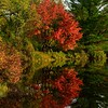 Red Maple Reflection