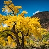 Jemez Canyon Golden Cottonwoods