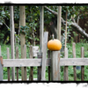 Small pumpkin on fence