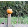 Pumpkin on fence