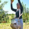 Staff worker at Autumn Hills Orchard in Groton, Paige Bailey 20 of Groton, picking Ginger Gold apples. SUN/David H. Brow