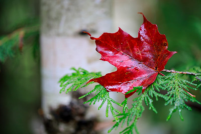 Pines and the maple leaf