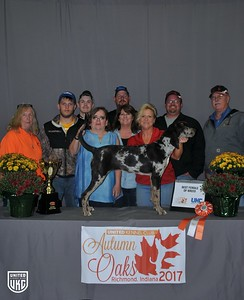 Friday American Leopard Hound Best Female of Breed