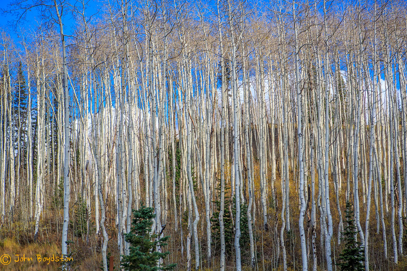 Aspen Trees, Park City, UT
