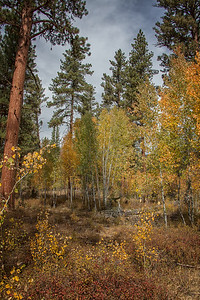 Fall Aspens Pines Wallow Whitman National Forest Near Unity OR 9-22-18 Portrait