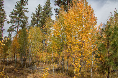 Fall Color Aspens Pines Wallowa Whitman National Forest near Unity OR 9-22-18