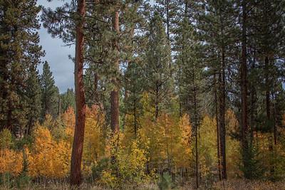 Fall Aspens Ponderosa Pines Wallowa Whitman Forest Near Unity OR Landscape 9-22-18