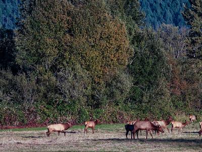 Large Bull Elk Chasing The Herd Rut Early Fall 9-28-18