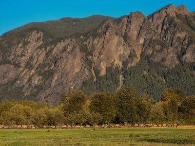 Elk Herd Mount Si Early Fall 9-28-18
