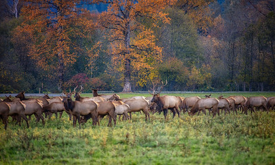 Elk Herd Fall Closeup Large Bull Center