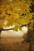 Autumn Maple Leaves on Tree