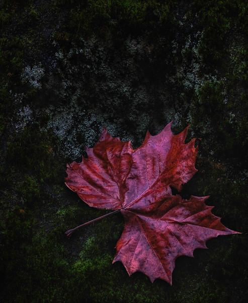 Red Leaf, Moss, Lichens