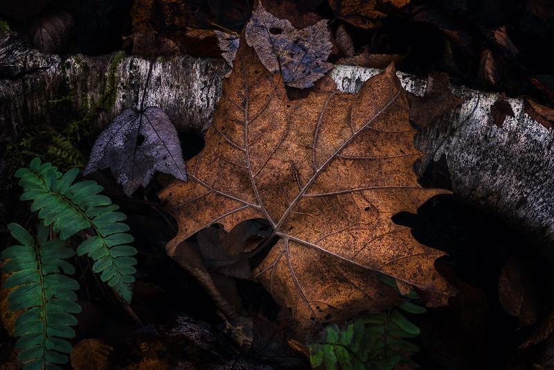 Leaves, Fern, Root
