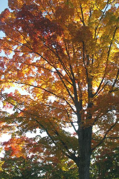 Autumn Foliage, Concord, Massachusetts