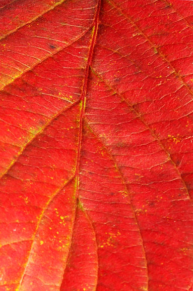 Autumn Leaf, Cutler Park, Needham