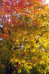 Autumn Foliage, Acton, Massachusetts