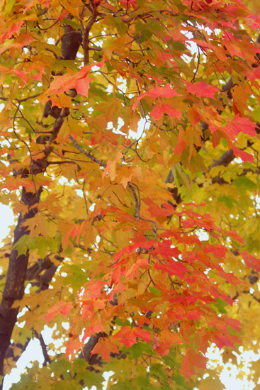 Rich bouts of orange peering through yellow leaves......