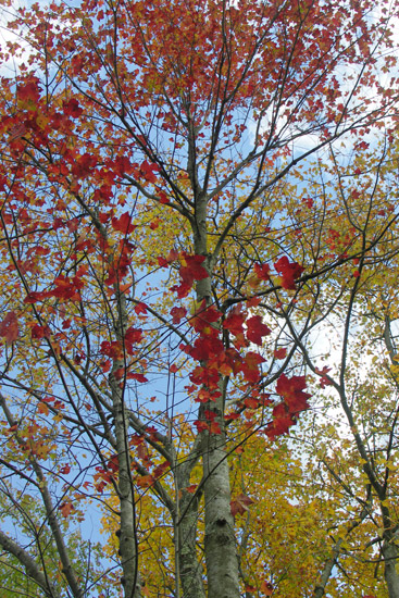 Autumn foliage. I'm always looking for the red leaves......