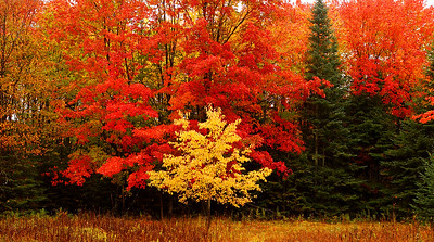 Upper Michigan forest in full Fall Color - Gould City