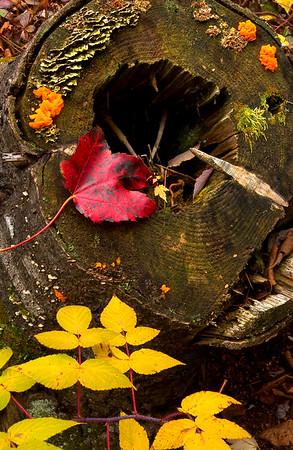 Autumn Colors in an Old Stump - Naubinway, Michigan