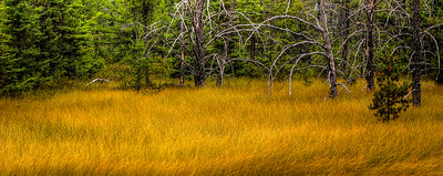 Golden Meadow - near Taquamenon Falls, Michigan