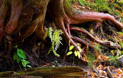 Cedar Roots along The Rock River - Carnegie Woods at Naubinway, MI  -  October