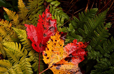 Autumn Leaves among the Ferns