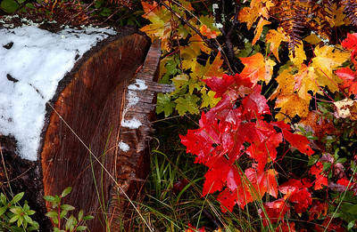 Cut Log on Ice and Autumn Leaves