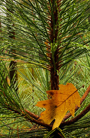 Golden Leaf in the Pines