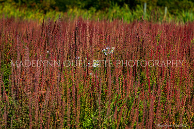 Asters in Heather