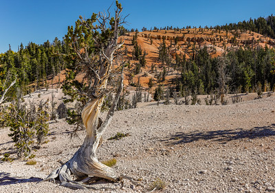 Twisted Forest Trail, Bristlecone Pine Trees