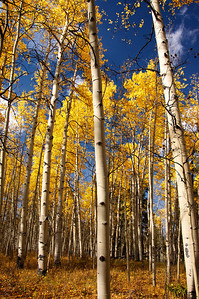 Colorado Aspens 2012