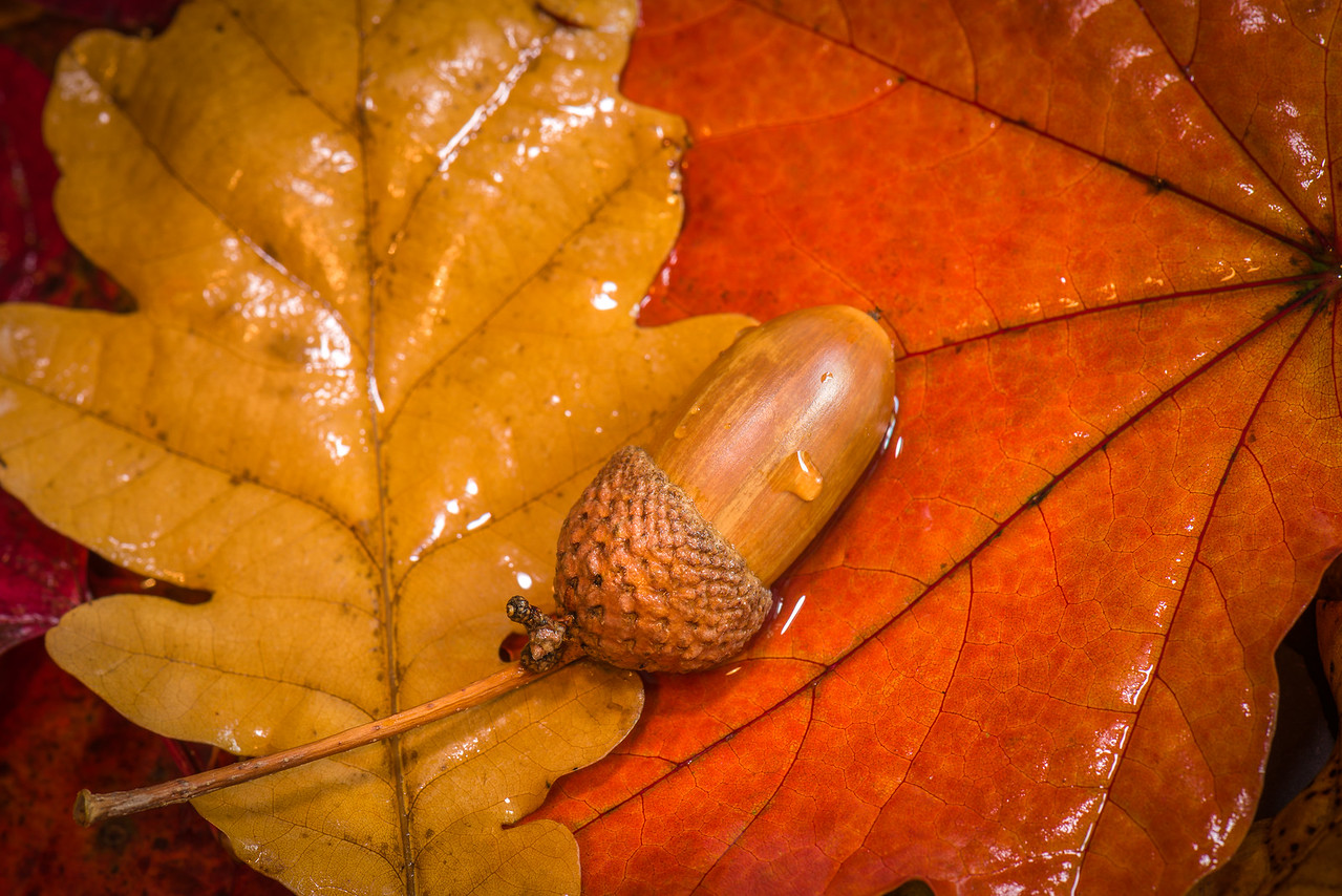 Acorn and Oak Leaf