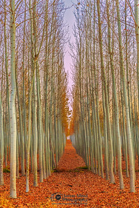 """Last Fall,"" Boardman Tree Farm at Sunset, Boardman, Oregon"